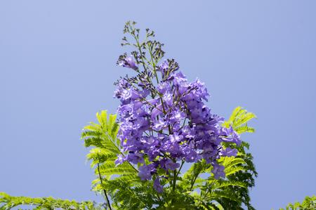 Jacaranda mimosifolia tree in bloom with amazing blue violet flowers