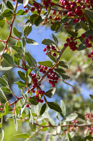 Pistacia lentiscus red ripened fruits and leaves on branches