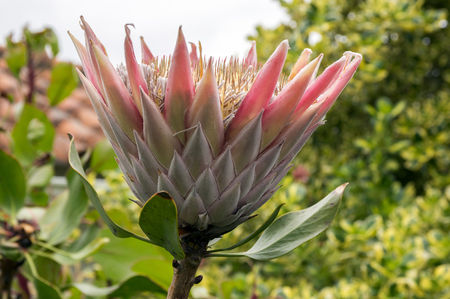 Protea cynaroides also called king protea in bloom with amazing giant flower