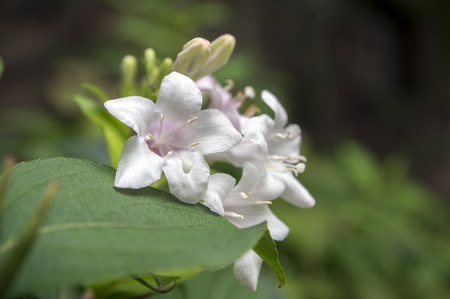 Weigela shrub with white and pale pink flowers on branches stock stock photo weigela shrub with white and pale pink flowers on branches mightylinksfo
