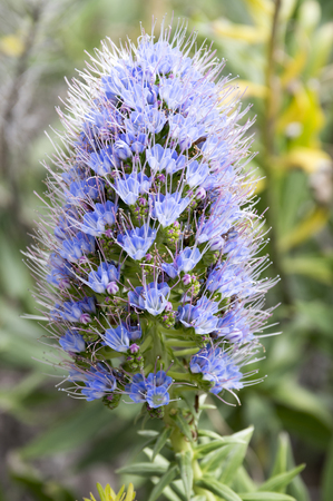 Echium candicans bunch of small blue red flowers on stem
