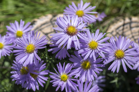 Symphyotrichum novae-angliae Michaelmas daisy in bloom, autumn ornamental herbaceous perennial plant Stock Photo