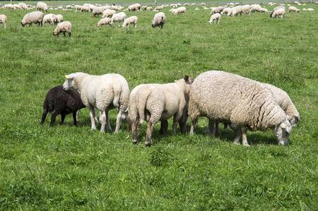 White common sheep ovis aries grazing on pasture Stock Photo