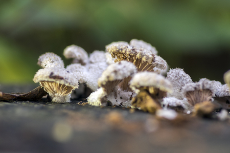 Schizophyllum commune species of gilled fungus Stock Photo