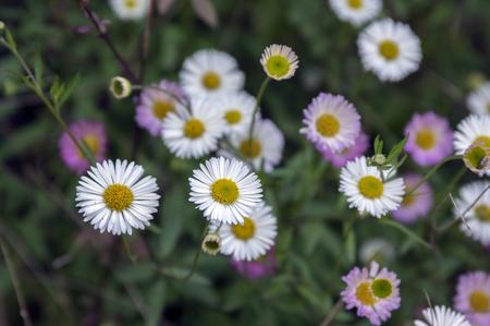 Erigeron karvinskianus in bloom white and light pink wild flowers erigeron karvinskianus in bloom white and light pink wild flowers stock photo 96164425 mightylinksfo