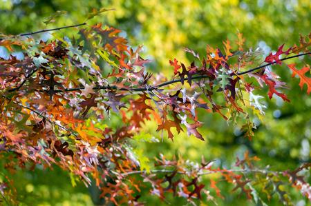 Quercus coccinea red leaves during autumn season, ornamental tree, seasonal color