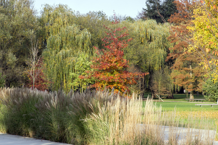 Quercus coccinea red leaves during autumn season, ornamental tree, seasonal color, public park Stockfoto