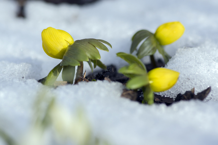 Detail of eranthis hyemalis, early spring flowers in bloom, winter aconite covered with fresh white snow, group of flowering plants