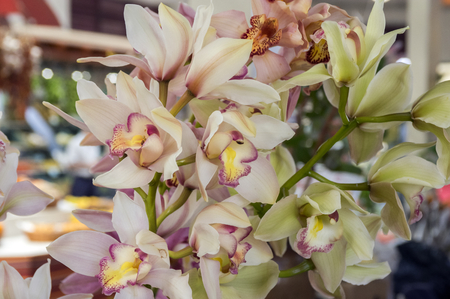 Bunch of Cymbidium boat orchids in bloom, light pink and yellow color