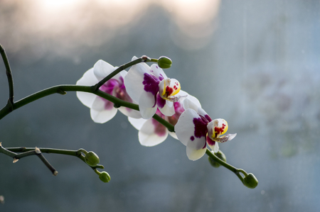 Beautiful group of white and pink orchid flowers in bloom with buds, indoor flowering phalaenopsis, purple dotted with light white and partly yellow petals on branches
