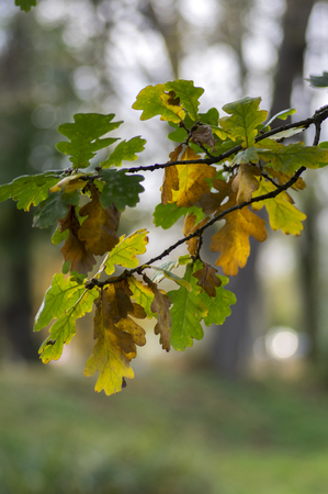 Quercus coccinea yellow green leaves during autumn season, forest tree
