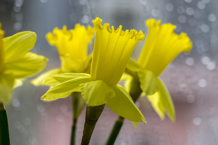 Detail of Narcissus pseudonaricissus ornamental spring flowers, yellow flower heads in bloom, rain reflections on the window