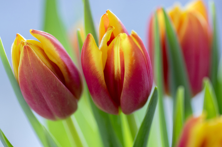 Detail of tulip bouquet, ornamental spring flowers, yellow red flower heads in bloom with green leaves in daylight Stock Photo
