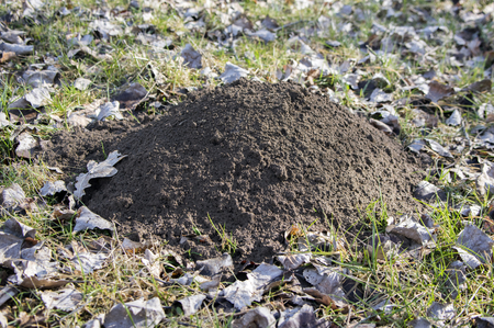 Molehill on early spring meadow, conical mound of loose soil raised by mole, dry leaves around