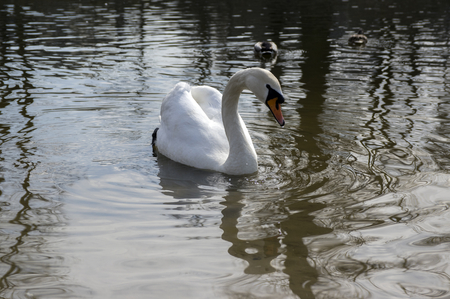 One swan on Odra river, largest waterfowl birds with white feathers swimming 写真素材