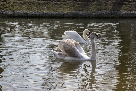 Group of swans on Odra river, largest waterfowl birds with white feathers swimming