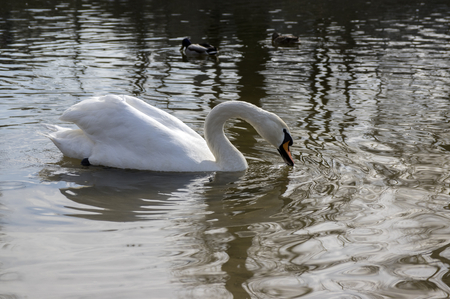 One swan on Odra river, largest waterfowl birds with white feathers swimming and drinking 写真素材