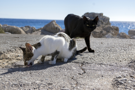 Black and white Rhodes cats, cats eating on the coast in town, sea on background, sunlight, eye contact 免版税图像