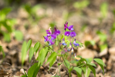 Lathyrus vernus in bloom, early spring vechling flower with blosoom and green leaves growing in forest, macro