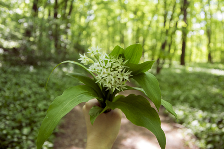 Bunch of white allium ursinum herbaceous flowers and leaves in hands in hornbeam forest, amazing springtime greenery with bear garlic foliage