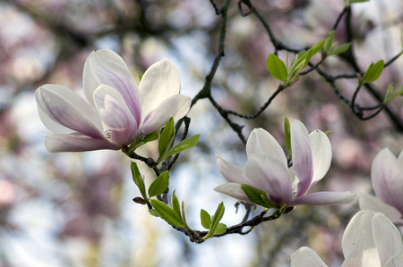 Magnolia soulangeana also called saucer magnolia flowering springtime tree with beautiful pink white flower on branches, romantic park tree