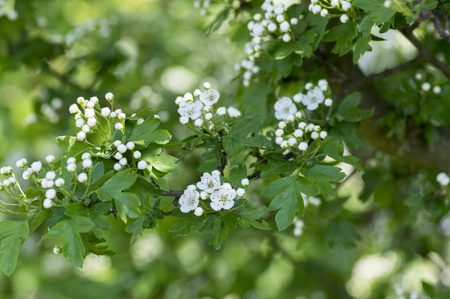 Crataegus laevigata hawthorn tree in bloom during springtime, branches with green leaves and group of flowers and buds with white petals in daylight