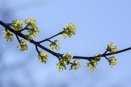 Cornus mas tree branches during early springtime, Cornelian cherry flowering with yellow small flowers