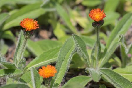 Orange Hawkweed flowers in bloom, wild ornamental flowering plants with green leaves, macro detail view