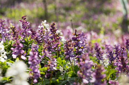 Corydalis cava early spring wild forest flowers in bloom, white violet purple flowering ground beautiful small plants with green leaves Stock fotó