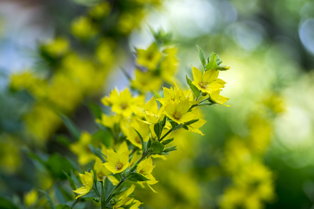 Yellow lysimachia punctata in bloom, beautiful flowering wild plant on stem with green leaves Stock Photo