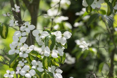 Cornus kousa ornamental and beautiful flowering shrub bright cornus kousa ornamental and beautiful flowering shrub bright white flowers with four petals on blooming mightylinksfo