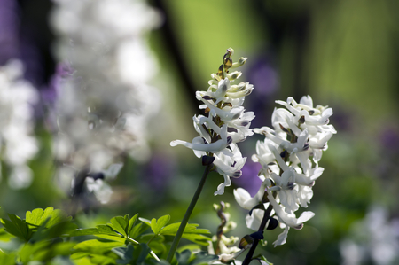 Corydalis cava early spring wild forest flowers in bloom, white flowering ground beautiful small plants with green leaves Stok Fotoğraf