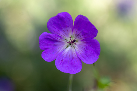 Cranesbills flowering plant, Geranium Rozanne flowers in bloom, blue purple five petals, green background Stock fotó