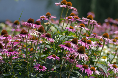 Echinacea purpurea flowering plant, eastern purple coneflower in bloom, bunch of coneflowers in the garden Imagens