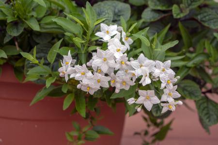 Solanum jasminoides white flowering plant, beautiful flowers in bloom, green leaves Stock fotó - 111115750