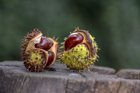 Aesculus hippocastanum, brown horse chestnuts, conker tree ripened fruits on old wooden stump