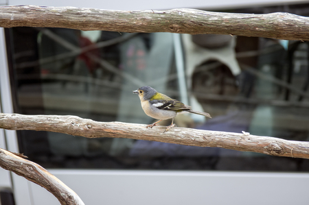 Fringilla coelebs maderensis small cheeky bird, colorful madeiran chaffinch on wooden railing