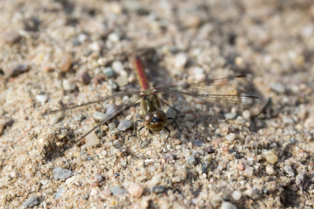 Red darter in the sand, red dragonfly also called ruddy darter, macro view in daylight, beautiful insect
