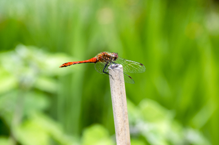 Sympetrum sanguineum on picket, red dragonfly also called ruddy darter, macro view in daylight, beautiful insect