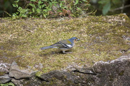 Madeiran chaffinch small cheeky bird, colorful madeiran animal in dry moss