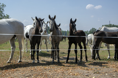 Kladruby nad Labem, Czech horse breed, Starokladruby white domesticated horses and foals on pasture during hot summer sunny day, blue sky