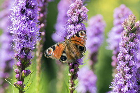 Agglais io butterfly on Liatris spicata purple flower in bloom, ornamental flowering plant in summer garden