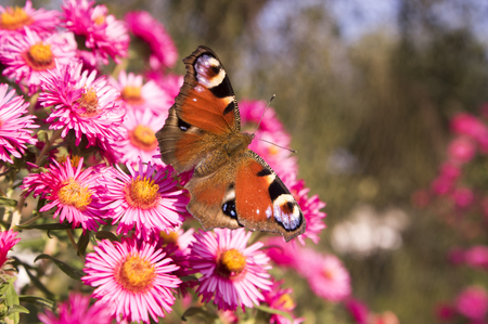 Agglais io butterfly on Symphyotrichum novae-angliae Michaelmas daisy flowers in bloom, autumn ornamental herbaceous perennial plant