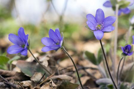Hepatica nobilis in bloom, group of blue violet purple small flowers, early spring wildflowers, brown background