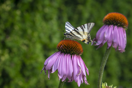 Scarce swallowtail on Echinacea purpurea flowering plant, eastern purple coneflower in bloom with purple flowers