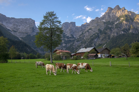 Brown and white cows on pasture, Verfenveng Austrian Alps, beautiful natural scenery Stockfoto