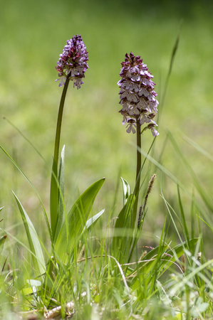 Orchis purpurea in bloom, flowering beautiful purple wild orchid on meadow during springtime