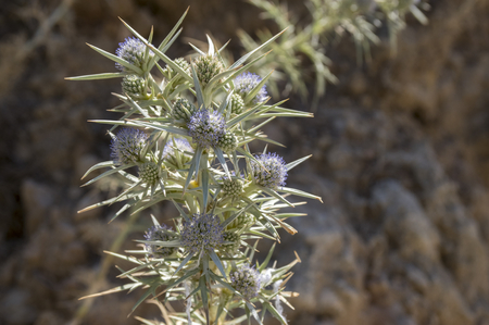 Eryngium bourgatii herbaceous perennial growing flowers, spiny flowering plant, blue color Stock fotó