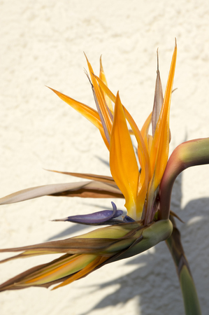Strelitzia reginae amazing orange blue green blooming flowers in sunlight