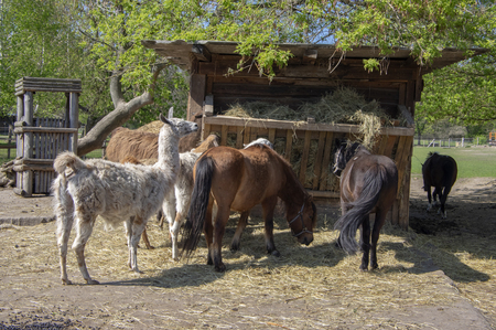 Horses, llamas and goats eat at the feeder, farm animals enjoying sunny springtime day in the coutry, group of friends